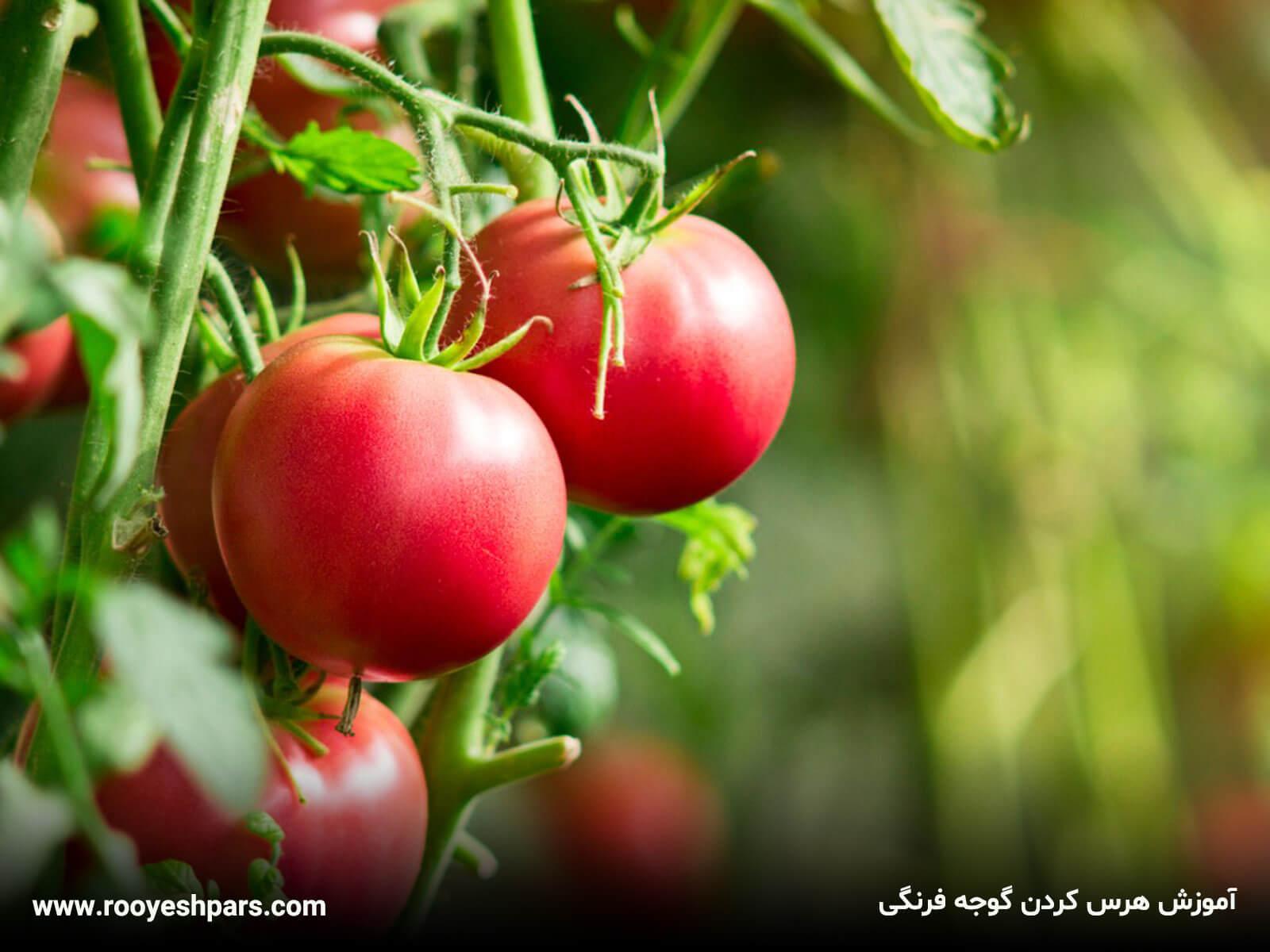 آموزش-هرس-کردن-گوجه-فرنگی